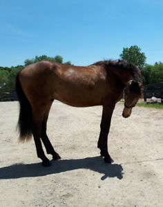 Buckskin Warmblood Gelding