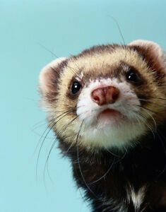 Looking to buy a friendly ferret :)