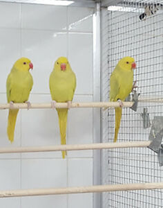Young pair GREEN LACEWING Indian Ringneck