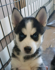 Husky Puppies | Adopt Dogs & Puppies Locally in London | Kijiji
