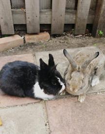 Black and white rabbit and brown rabbit