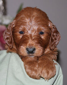 Beautiful Medium F1b Goldendoodle Puppies for Sale