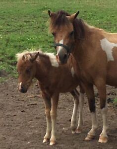 mini mare with filly