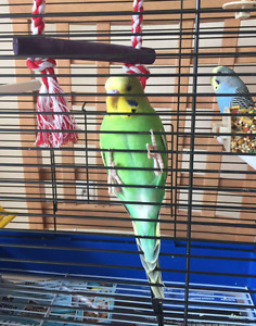 Two 6-month budgies one male one female for rehome $18/each