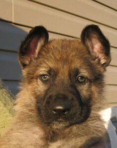 Working line purebred German Shepherd Puppies