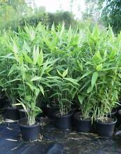 Tiger grass 3ft tall fullsun bushy healthy plants delivery avail Beenleigh Logan Area Preview