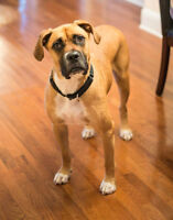 Brownie is a stunning 2 yr. old, male Boxer/Mastiff mix