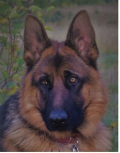 purebred german shepherd cost german shepherd adopt local dogs puppies in alberta 8835
