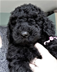 BOUVOODLE puppies! (non-shedding & hypoallergenic)