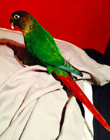 Young Green Cheek Conure Looking For Loving Home