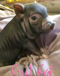 Adorable Little Mini Pigs! Will be Tiny!!