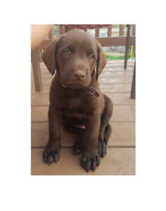 Two Male Chesapeake Bay Retriever Puppies