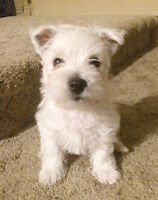 West Highland Terrier puppies for Sale!