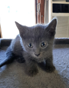 Russian Blues | Adopt or Rehome Pets in Ontario | Kijiji