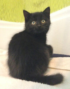 Shy farm kitten looking for a patient home 9wk- already neutered