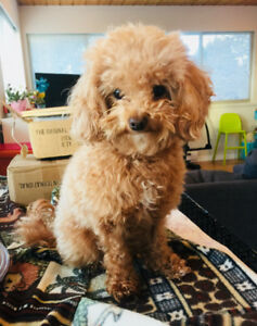 Purebred 2yr Old Female Toy Poodle