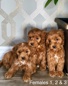 Adorable Cockapoo Puppies For Sale ready today