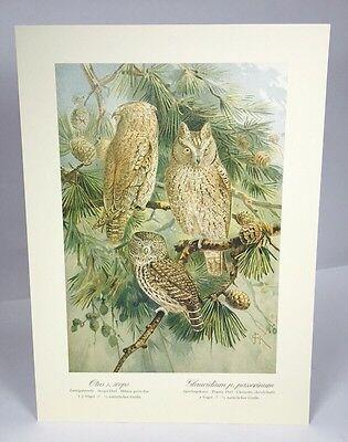 Antique Bird Print Scops Pygmy Owl  Schleiereule Plate V 1 Naumann 1896