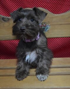 Co-Ownership Families Needed - Miniature Schnauzers