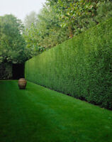 Cedar Hedge Pruning Specialist...and more!