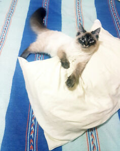 Ragdoll looking for mate