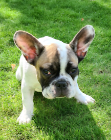 Beautiful French bulldog 4 months old male