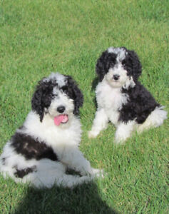 Purebred Poodle Puppies - Ready To Come Home!