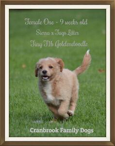 Reduced Price ~ Tiny Goldendoodle Kitchener / Waterloo Kitchener Area image 1