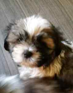 Adorable Non Shedding full Shih Tzu Puppies