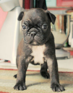 Bugg Puppies for sale