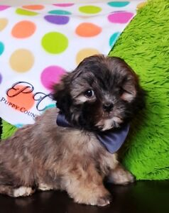 Morkie    ( PuppyCountry.ca)
