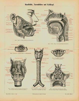 Mund Mundhöhle Nasenhöhle Kehlkopf Original Stahlstich von 1892 Mxz + Text M5