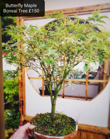 Butterfly Maple / Acer Bonsai Tree/plants/garden/Xmas present