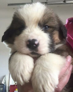 St. Bernard x Bernese Mountain Dog Pups available