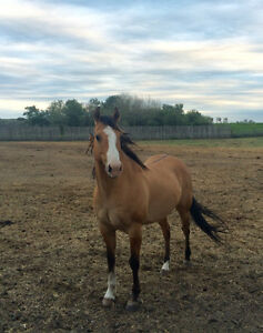 Beautiful Registered Quarter Horse Gelding for Sale