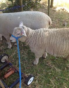 Beautiful 4-H Market Lamb
