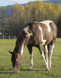 Purebred APHA Mare