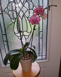 BEAUTIFUL REAL ORCHID PLANT WITH PURPLE FLOWERS