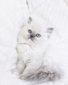 Colour Point Persian Kittens for Adoption