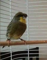 $80 ·  GLOSTER CANARIES