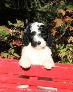 BERNEDOODLE !!! ONLY 1 LEFT - READY NOW