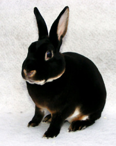 Wanted: Mini Rex baby bunny, buck and Otter colour