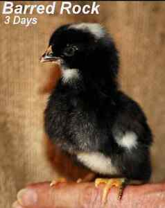 Wanting barred rock chick's!