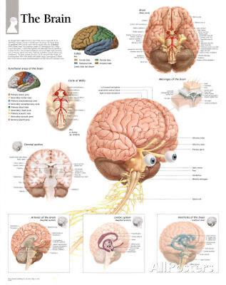 The Human Brain Educational Chart Poster Poster Print  22X28
