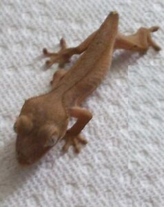 Juvenile Crested Geckos for re-homing $25 each Cambridge Kitchener Area image 2