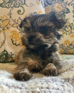 Adorable Morkie Puppies (Maltese x Yorkie)
