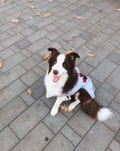 9 months chocolate border collie puppy
