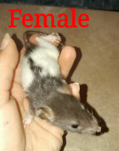 Male/Female/Rex/Standard Rat Pups