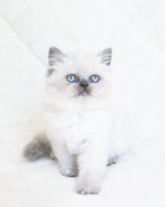 Color Point Persian Kittens for their new Homes