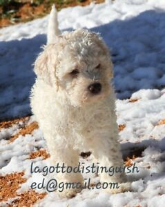Rare Ancient Water Dogs Lagotto Puppies available